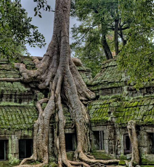 Mynd af trjárótum við Angkor Wat